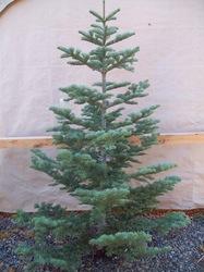 Silvertip Fir Christmas Tree