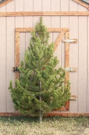 Christmas trees SLC UT Trees and Prices
