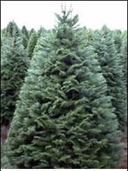 grand fir christmas trees are often chosen because of their unique beauty and absolutely wonderful scent they are by far the best smelling christmas tree